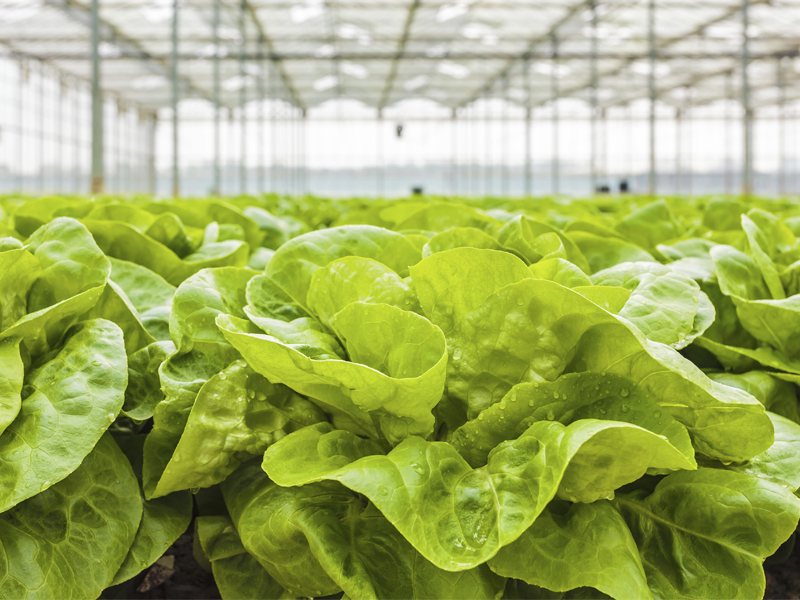 Lettuce in a greenhouse