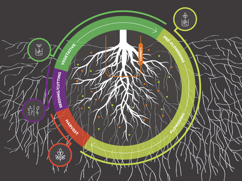 Cannabis plant growth cycle
