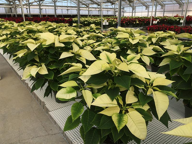Consejos para el cultivo: flores de Nochebuena