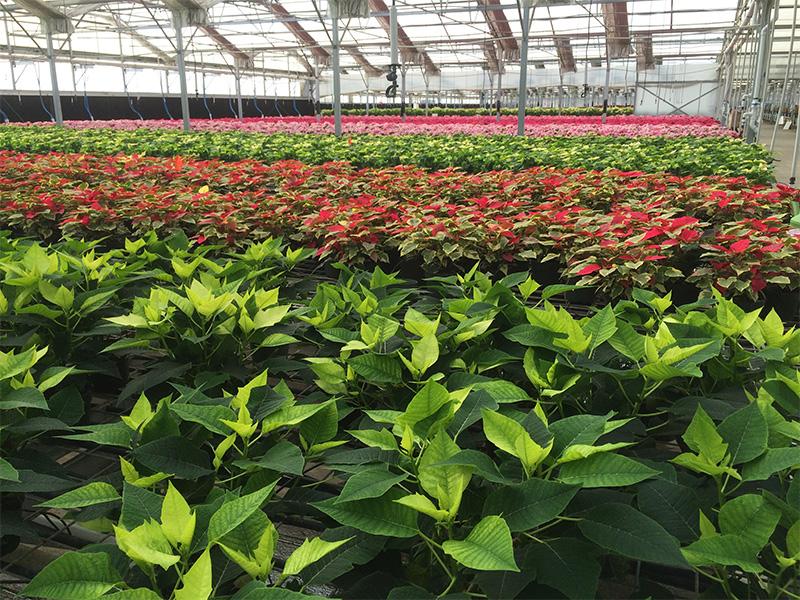 Cultivo de cultivos duros: Poinsettias