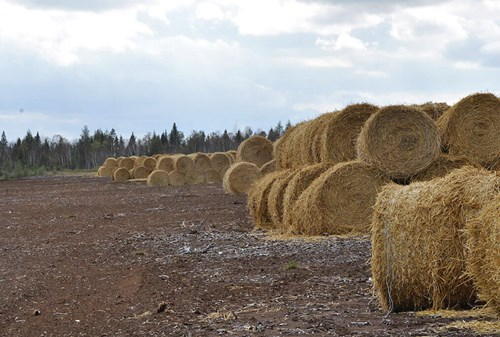 Straw bales that will be spread on plant fragments