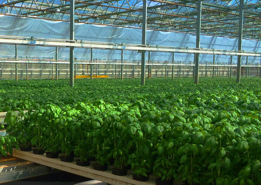 Basil plants in greenhouse