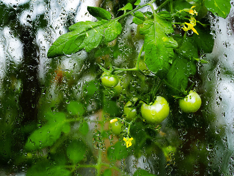 Humidity in greenhouse tomatoes