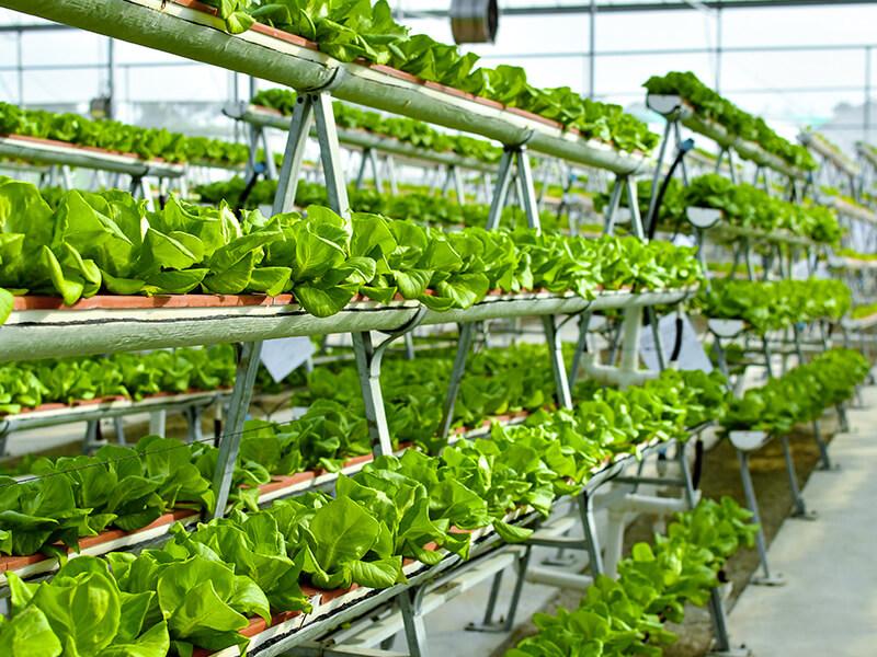 Agricultura vertical que utiliza marcos en forma de A hidropónicos